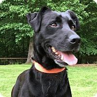Labrador Retriever Mix Dog for adoption in Rocky Hill, Connecticut - Annie