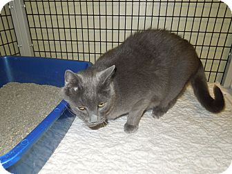 Domestic Shorthair Cat for adoption in Medina, Ohio - Chloe