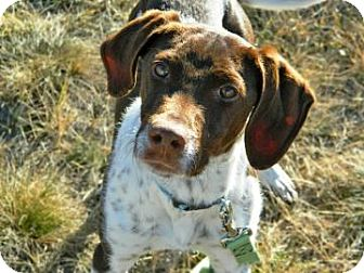 German Shorthaired Pointer Mix Dog for adoption in Cheyenne, Wyoming - Carl