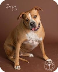 Boxer/American Pit Bull Terrier Mix Dog for adoption in Scottsdale, Arizona - Zoey