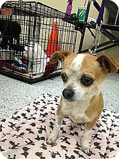 Chihuahua Mix Dog for adoption in Van Nuys, California - Little Chloe