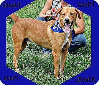 Labrador Retriever/German Shepherd Dog Mix Dog for adoption in Lawrenceburg, Tennessee - Grover