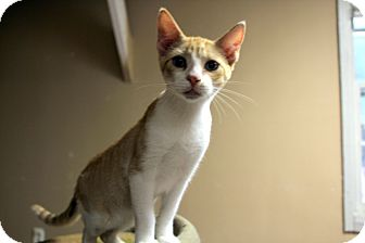 Domestic Shorthair Cat for adoption in Little River, South Carolina - Cremesicle