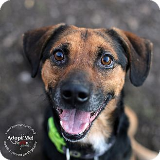 Beagle/Shepherd (Unknown Type) Mix Dog for adoption in Lyons, New York - Ralph