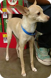 Chihuahua Mix Dog for adoption in Mesa, Arizona - Sparky