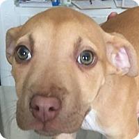 Adopt A Pet :: Snow White - Bloomington, IL