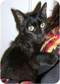 American Shorthair Kitten for adoption in New York, New York - Little  Lisa