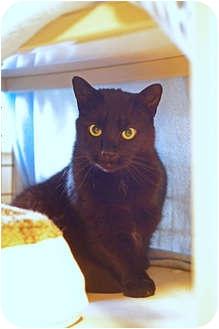 American Shorthair Cat for adoption in Victor, New York - Patlacin