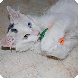 Turkish Angora Kitten for adoption in Chicago, Illinois - Rotini