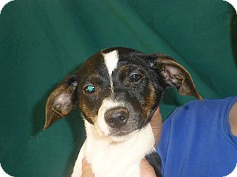 Beagle/Jack Russell Terrier Mix Puppy for adoption in Oviedo, Florida - Shelly