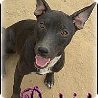 Adopt A Pet :: Paris - Bakersfield, CA