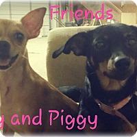 Adopt A Pet :: Miss Piggy - Pflugerville, TX