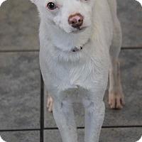 Adopt A Pet :: Cotton - Yuba City, CA