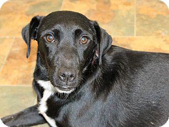 Labrador Retriever/Terrier (Unknown Type, Small) Mix Dog for adoption in Starkville, Mississippi - Effie