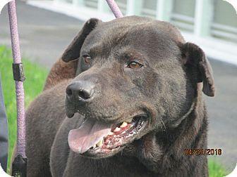 Labrador Retriever Mix Dog for adoption in Mount Sterling, Kentucky - Gunner