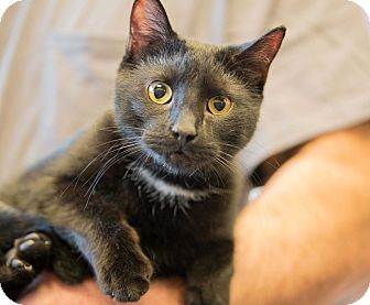 Bombay Cat for adoption in Exton, Pennsylvania - Midnight (TD)