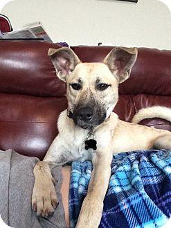 Husky/Labrador Retriever Mix Dog for adoption in Manhattan, Kansas - Ylva