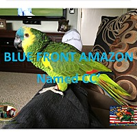 Adopt A Pet :: CC The SpecialBlue FrontAmazon - Vancouver, WA