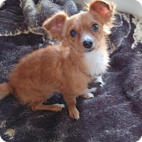 Adopt A Pet :: Chloe - Manhattan Beach, CA