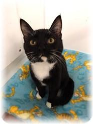 Domestic Shorthair Kitten for adoption in Shelton, Washington - Lil Bit