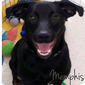 German Shepherd Dog/Labrador Retriever Mix Puppy for adoption in Garden City, Michigan - Memphis