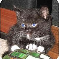 Adopt A Pet :: Brendas Female kitts - Cincinnati, OH