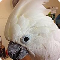 Adopt A Pet :: Cozma (Coz) - Fallbrook, CA