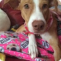 Adopt A Pet :: Spectacular Serena - Brooklyn, NY