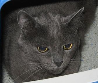 Domestic Mediumhair Cat for adoption in Lutherville, Maryland - P-nut