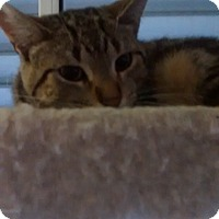 Domestic Shorthair Cat for adoption in detroit, Michigan - Pooky