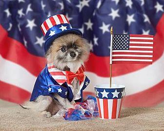 Pomeranian Dog for adoption in Harrisburg, Pennsylvania - Chewy