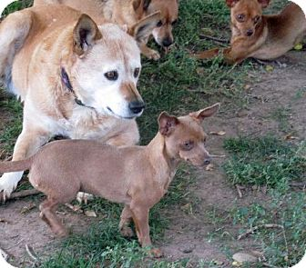 Dachshund/Chihuahua Mix Dog for adoption in Peralta, New Mexico - **DAWN