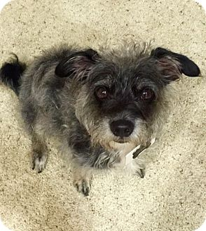 Cairn Terrier/Terrier (Unknown Type, Small) Mix Dog for adoption in Los Angeles, California - Django