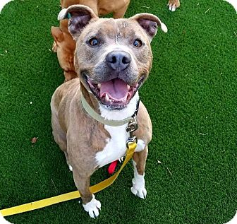 American Staffordshire Terrier Mix Dog for adoption in Raleigh, North Carolina - Java