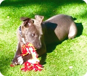 American Pit Bull Terrier Puppy for adoption in Murrieta, California - Denver