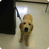 Adopt A Pet :: CODY - Waterford, VA