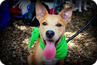 Shepherd (Unknown Type) Mix Puppy for adoption in Orlando, Florida - Basil