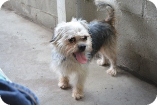 Cockapoo Mix Dog for adoption in Sun Valley, California - Benji