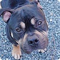 Adopt A Pet :: Bishop - Reisterstown, MD