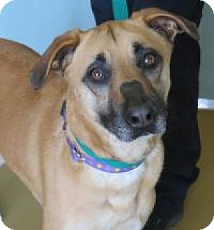 German Shepherd Dog/Labrador Retriever Mix Dog for adoption in Manchester, Connecticut - Hera