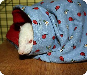 Ferret for adoption in Pinesville, Oregon - Bella