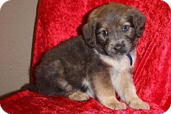 Australian Shepherd Mix Puppy for adoption in Saddle Brook, New Jersey - MCLAREN