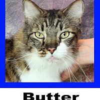 Adopt A Pet :: Butter - Plano, TX