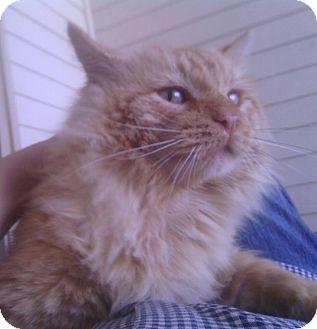Domestic Longhair Cat for adoption in Ravenna, Texas - Rom