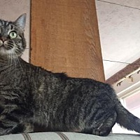 Domestic Shorthair Cat for adoption in Columbus, Ohio - PeteyGirl