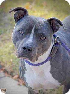 American Pit Bull Terrier Dog for adoption in Everett, Washington - Blue Boy