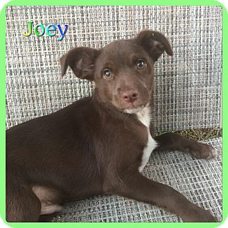 Terrier (Unknown Type, Small) Mix Puppy for adoption in Hollywood, Florida - Joey
