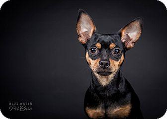 Miniature Pinscher/Chihuahua Mix Dog for adoption in China, Michigan - Frankie