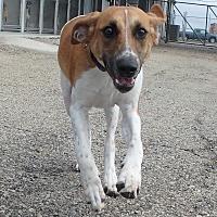 Adopt A Pet :: Hugo - Seguin, TX