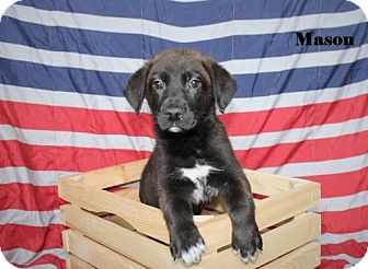 Labrador Retriever/Shepherd (Unknown Type) Mix Puppy for adoption in Westminster, Colorado - Mason